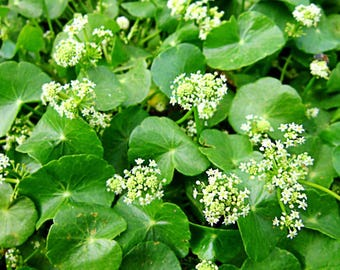 Gotu Kola Seeds (Hydrocotyl asiatica) 50+ Rare Medicinal Herb Seeds in Frozen Seed Capsules™ plus FREE 6 Variety Seed Pack!
