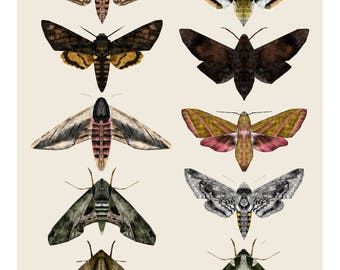 Sphingidae Hawk Moths, Moth Illustration, Moth Print, Deaths-Head Hawk Moth Print, Moth Drawing, Wildlife Print