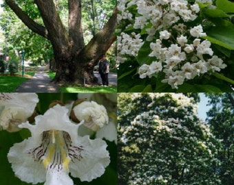 30+ Northern Catapula Tree Gorgeous Flowers / Fast Growing Flower Seeds