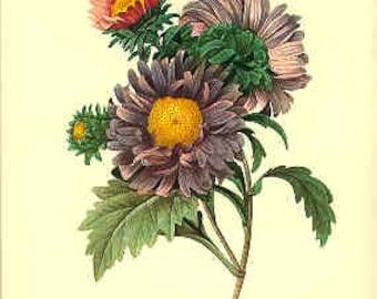 Redoute Botanical Print -  Aster - 9 - Aster Print - Aster Bouquet Print - Bouquet Print - Botanical Aster Print - Purple Flower Print