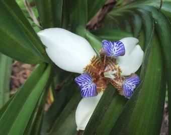 Walking Iris Plant, Neomarica Gracilis-Eight Inch Twelve Apostles Organic Plant