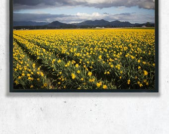 Yellow Daffodil Flower Fields Photography Print, Wall Art