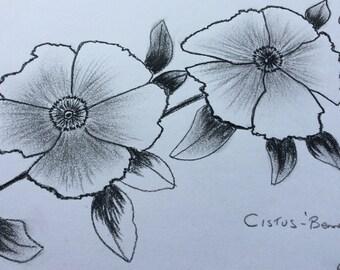 Original charcoal drawing.Cistus flowers. Nature charcoal art.