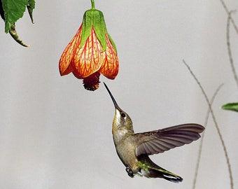 Hummingbird hooking up for morning nectar
