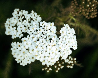 Yarrow 5x7 Photo Fine Art Photography