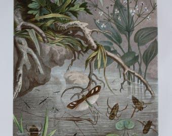 antique print German waterbugs and water runners 1895