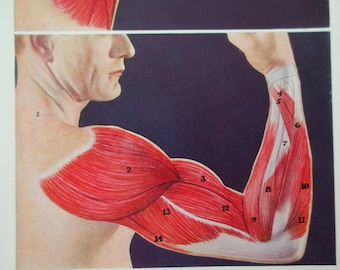 original page - 1912 color MEDICAL CHART from antique medical book - Human Muscular System, arm