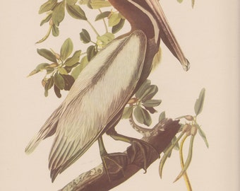 Vintage 1950 Audubon Print, Brown Pelican Print, Commentary by Roger Tory Peterson, Ornithology, Rustic Decor, Suitable for Framing