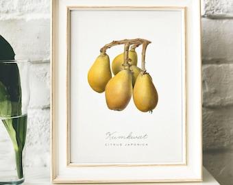 Kumkwat Print, Vintage Kitchen Poster Wall Art Decor,  drawing Gift for Mom, her, kitchen , old fruit print antique fruit print | B11