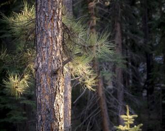 Pine tree photo, pine tree wall art, sunset pine tree photo, rustic woods print, log cabin forest art, trees art, nature wall art, cabin art