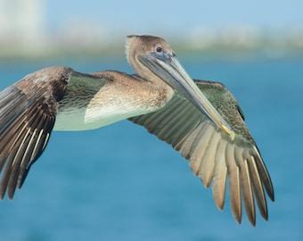 Framed Brown Pelican