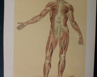 original page - 1916 color MEDICAL CHART from antique medical book - Human Muscular System