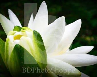 Water Lilies   Nature Photo Art   Nature Lover Gift   Fine Art Photography   Personalization   BDPhotoShoppe   Home Office Decor