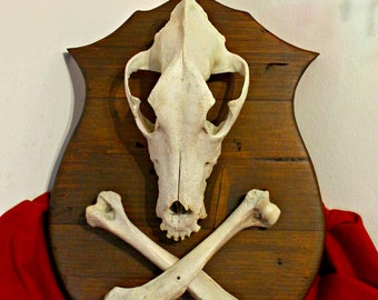 Real big dog skull with bones mounted on wooden plaque to hang taxidermy