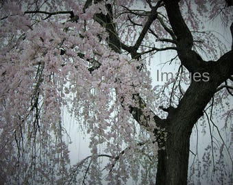 Cherry Blossoms, Cherry Blossom Canvas Print, Cherry Blossoms Photograph, Cherry Blossoms Image, Cherry Blossom Tree #132