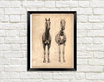 Animal Anatomy - Horse