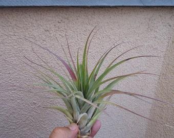Large Tillandsia Fasciculata