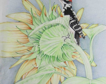 Pencil Art Work Woodpecker On The Back Of A Sunflower Original Drawing-Print