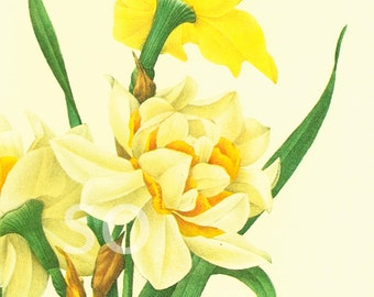 Daffodil Narcissus Jonquil Large Size Redoute Vintage Botanical print Nature wall art