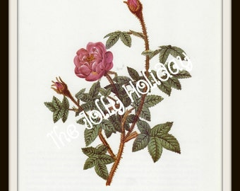 Vintage Redoute Rose Print, Mauve and Green, Botanical Book Plate, Art Print, Pierre Joseph Redoute 1978