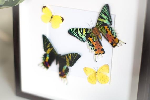 RECTO VERSO x 2 ! Framed sunset moth, Urania ripheus & Eurema hecabe brenda