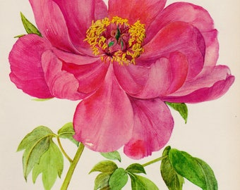 Romantic Vintage Peony Print Pink Flower Art Botanical Print Pink Flower Gallery Wall Art Home Library Decor  Shrub 2848