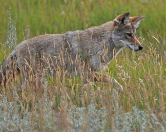 Cautious mama coyote