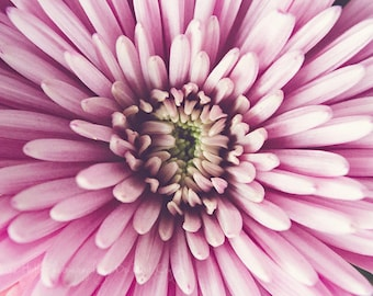 Floral Fine Art Photography - Aster - Close-up - Pink White Green - Home Decor - Flower Photography