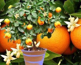 3 seeds Orange Citrus Sinesis