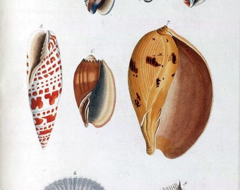 Buccinum Plate 1 molluscs and shell fish hand-coloured engraving  by J J N A Spalowsky reproduction