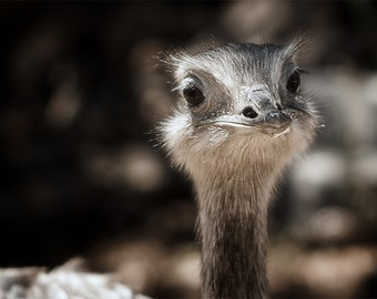Color photograph of a Ostrich. Great for home decor, office, workroom, child's room, etc.