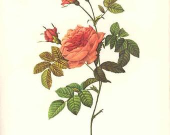 Redoute Botanical Rose Print  9