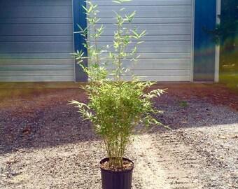Golden Goddess Bamboo Multiplex Live Plant Privacy Hedge