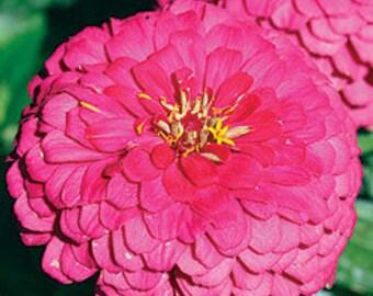Zinnia Yoga Rose Flower Seeds / Annual 50+
