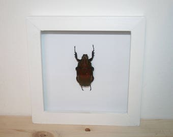Real Mecynorrhina ugadensis in frame