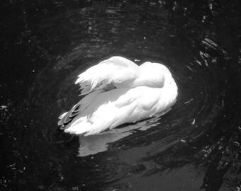 Sleeping Swan Photo Print