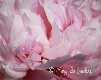 Peony photo, close-up photography of pink peonies perfect for your wall or a gift