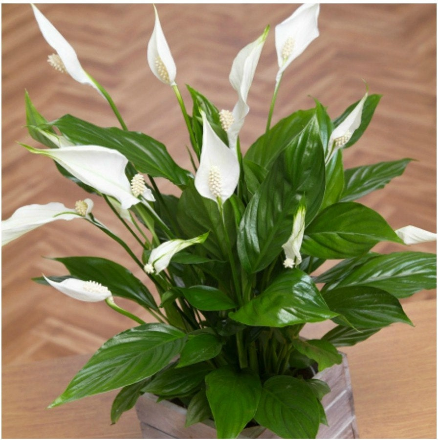 Live peace lily plant spathiphyllum home decor plant indoor zoom izmirmasajfo Image collections