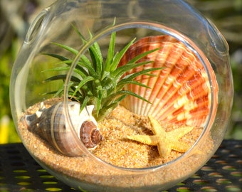 Beach Terrarium Kit ~ Small Air Plant Terrarium Kit ~ Tan Starfish ~ Melongena Shell ~ Gift ~ For Him or For Her ~ Beach Decor ~ Christmas