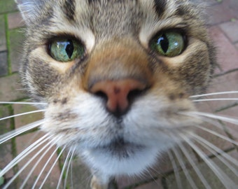 Greeting Gift Card - Photographic Print - Tabby Cat Whiskers Photo