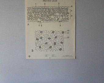Vintage Privet Leaf classroom chart from Turtox