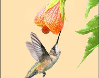 Hummingbird and Chinese lantern blossom