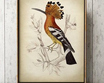 Bird print, Hoopoe print, hoopoe poster, hoopoe wall art, hoopoe illustration, bird scientific illustration