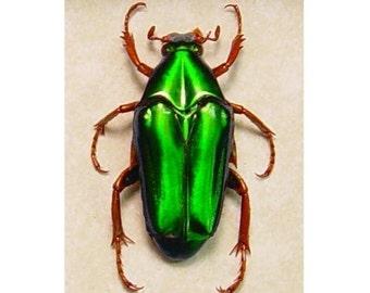 Real Framed Chalothea Resplendens Metallic Green Flower Chafer Beetle  2289