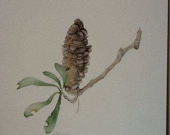"Australian Flora - Coastal Banksia, ""Banksia integrifolia"""