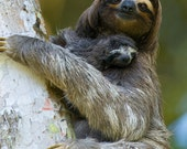 SLOTH MOM and BABY Photo,...