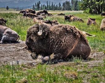 Buffalo Photography - BUFFALO WALL DECOR - bison photography