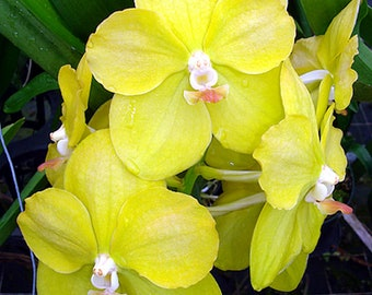 Orchid - Vanda Mary Thonglor ……… Stock #210-4