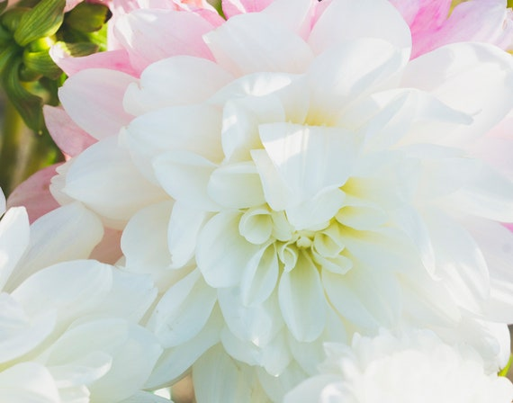 Dahlia Print, Flower Photography, Pink and White Wall Art, Floral Print, Large Wall Art, Spring Pastels, Home Decor