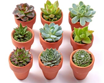 Succulent Mini Pots + Plant | Great for Wedding Favors and Gifts